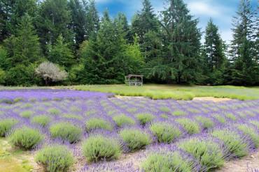 Blue Willow Lavender Farm