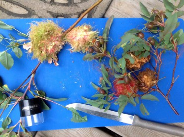 Mossy rose gall