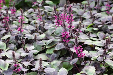 "Ocimum ""Wild Red"" has thick, purple-and-green leaves and pink flowers. It is also highly ornamental and looks great growing with other annuals."