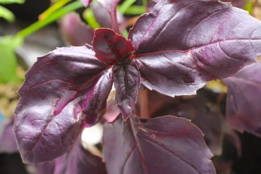"Ocimum ""Red Rubin"" is selected from O. ""Dark Opal"" for its rich, violet-purple color."