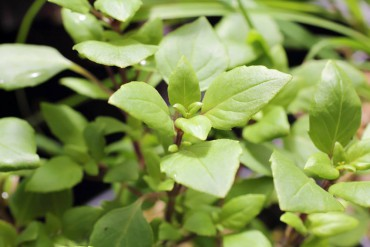 """Ocimum """"Ajaka"""" is disease-resistant and well-branched. The leaves have a sweet, spicy fragrance and taste."""