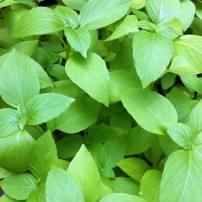 Ocimum basilicum var. citriodorum, commonly called lemon basil, and Ocimum americanum, or lime basil, add a citrusy element to any dish they flavor.