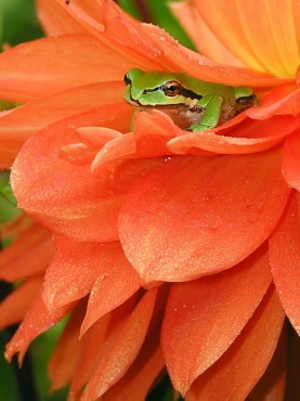 Pacific Tree Frog in a dahlia