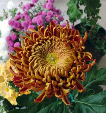 Less hardy florist or exhibition mums — these mums require regular disbudding, staking and tying during the growing season.