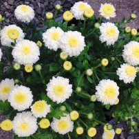 Hardy garden mums — these mums bloom in mounds from August through October. They are a favorite for cut flowers and display.