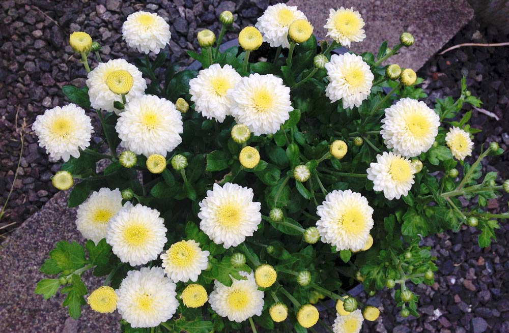 Wshg garden chrysanthemums colorful hardy flowers featured hardy garden mums these mums bloom in mounds from august through october they are a favorite for cut flowers and display mightylinksfo