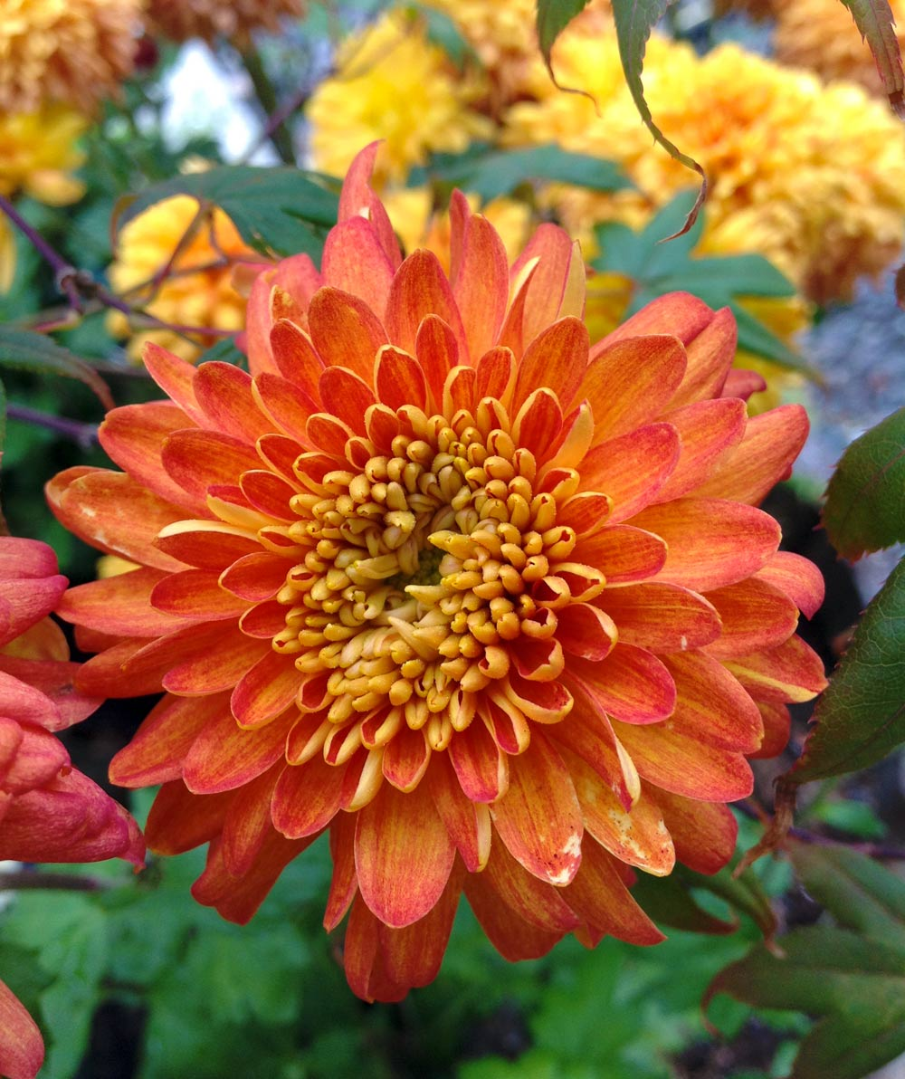 Wshg net garden chrysanthemums colorful hardy flowers for Hardy plants for the garden