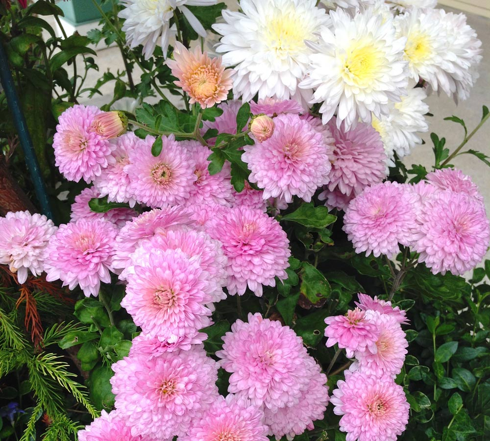 Wshg Garden Chrysanthemums Colorful Hardy Flowers Featured