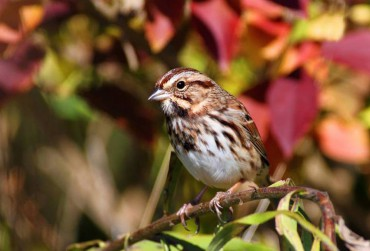 Song Sparrow in Autumn Plumage