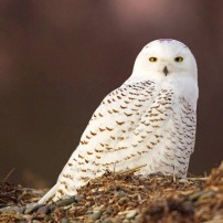 Get The Dirt Snowy Owl