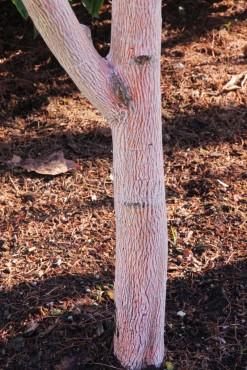 Acer pennsylvanicum 'Erythrocladum'