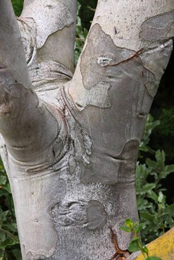 Eucalyptus pauciflora ssp debeuzevillei