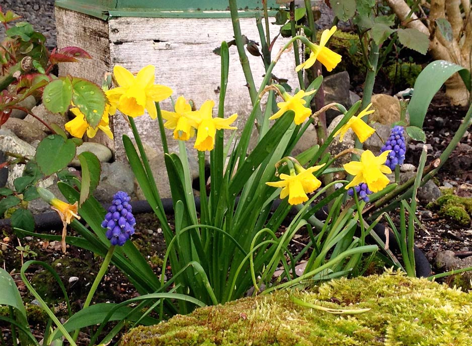 Wshg spring flowering bulbs and corms featured the garden daffodils and hyacinths daffodils and hyacinths spring flowering bulbs mightylinksfo
