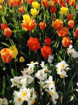 Tulips and white daffodils