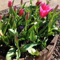 Hybrid tulips in a container