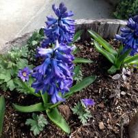Hyacinths and anemone