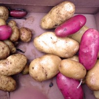 Volunteer potatoes. On the right are the potatoes from the hugelkultur bed, on the left are ones from a standard bed.