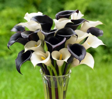 Calla lilies, like those with the black flowers of 'Night Cap' and white blooms of 'Crystal Clear,' are spring-planted bulbs that thrive in full sun or part shade and can be cut to create an elegant display indoors.