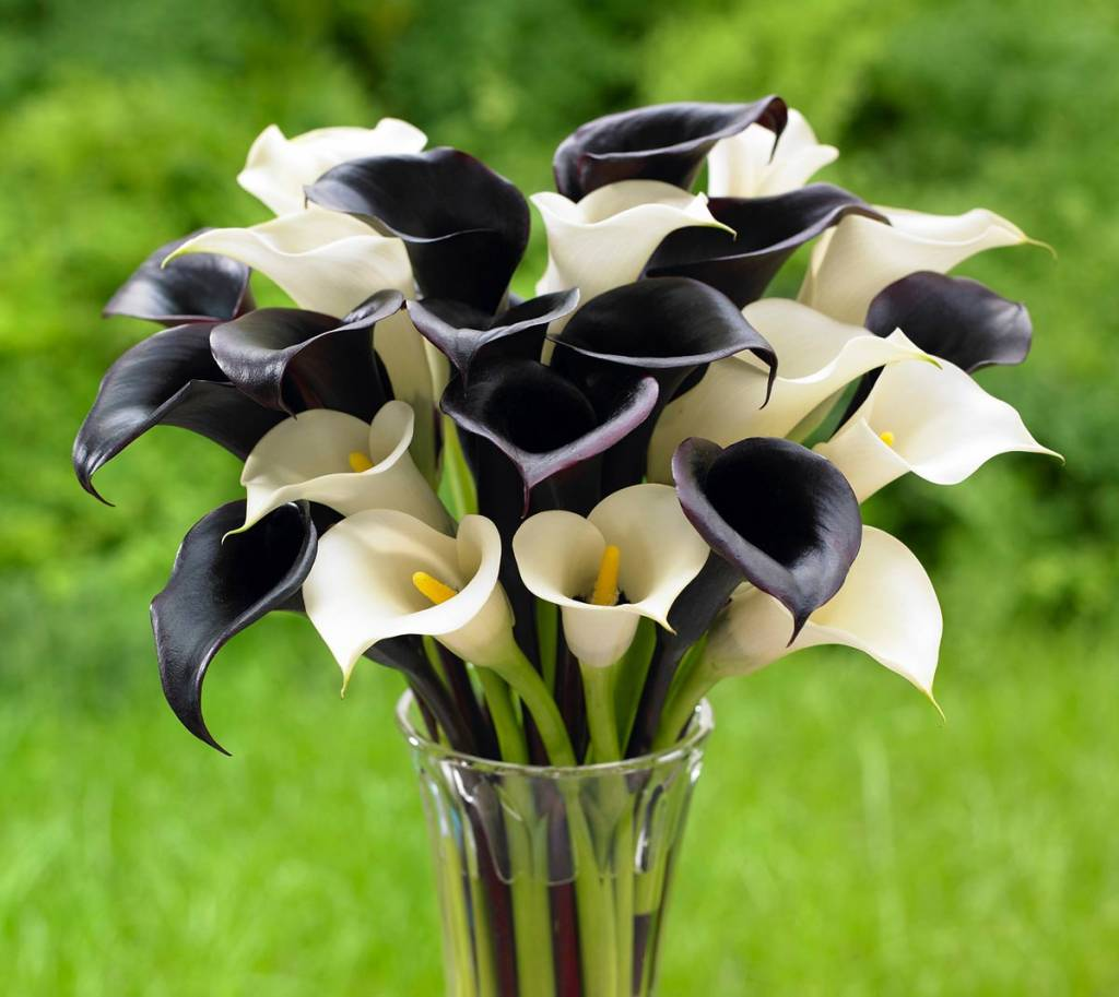 Calla Lilies, Like Those With The Black Flowers Of U0027Night Capu0027 And White