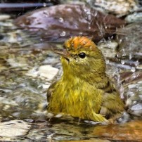 Orange-crowned warbler bathing (Photo courtesy Richard Perkins)