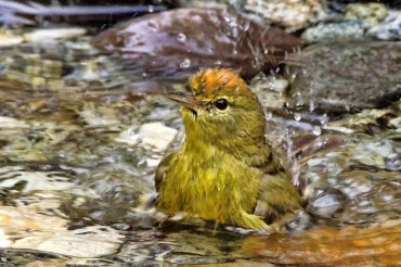 Orange-crowned warbler bathing (Photo courtesy Richard Perkins)
