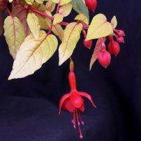 Trailing single-flower form