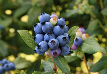 BrazelBerries 'Perpetua Blueberry' (Photo courtesy Fall Creek Nursery)