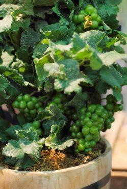 Vitus pinifera 'Pinot Meunier Purple'