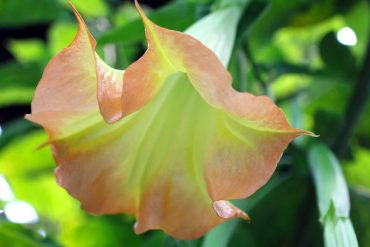 'Brugmansia Blush' Angel's Trumpet
