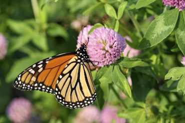 Monarch butterfly on clover