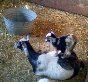 Herron Hill Goat Dairy
