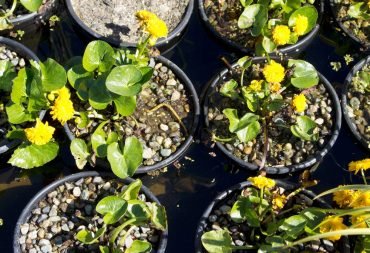 Double marsh marigold, Caltha palustris 'Plena'