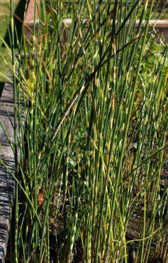 Zebra rush, Scirpus 'Zebrinus'