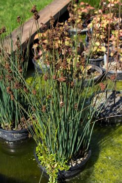 Blue rush, Juncus patans 'Elk Blue'