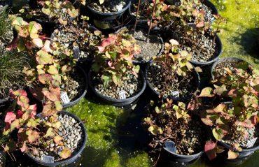 Chameleon plant, Houttuynia cordata 'Variegata'