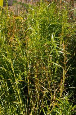 Dwarf water bamboo, Dulichium arundinaceum