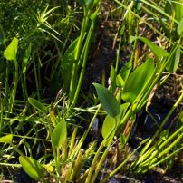 Royal pickeral rush, Pontederia dilatata