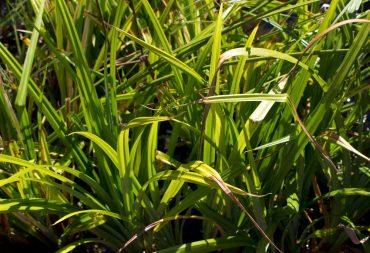 Drooping sedge, Carex pendula