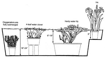 An example of a water garden planting, courtesy of Roadhouse Nursery. Going from left to right the plants include: fully submerged oxygenator plant, four-leaf water clover placed on top of bricks or cement blocks, hardy water lily with the pot on the bottom of the water garden container and iris on a shelf with only the roots submerged.