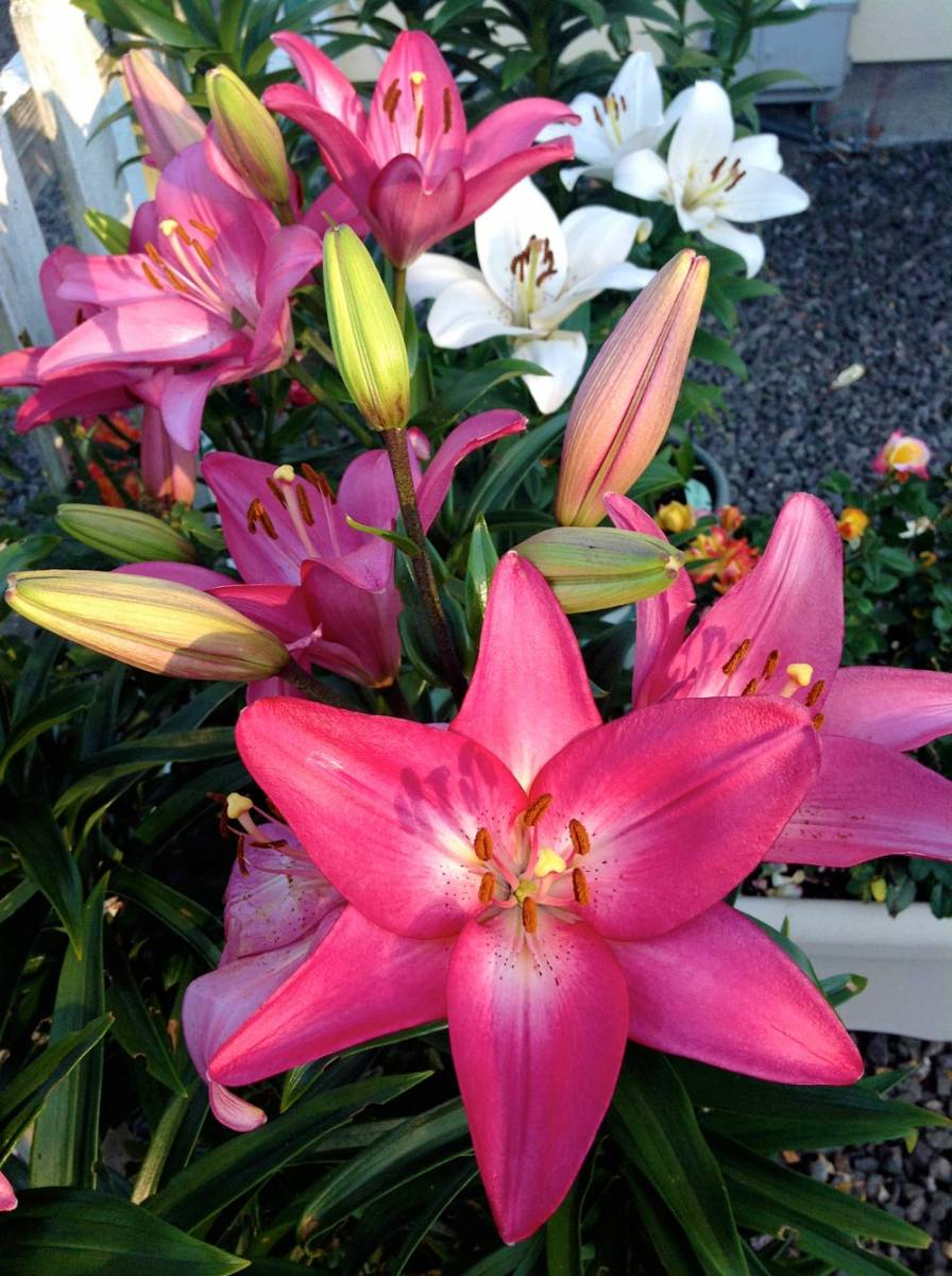 Wshg Planting Lilies For Continuous Bloom Featured The