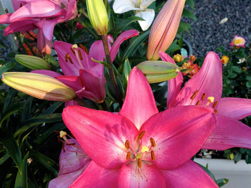 Wshg Net Planting Lilies For Continuous Bloom Featured The