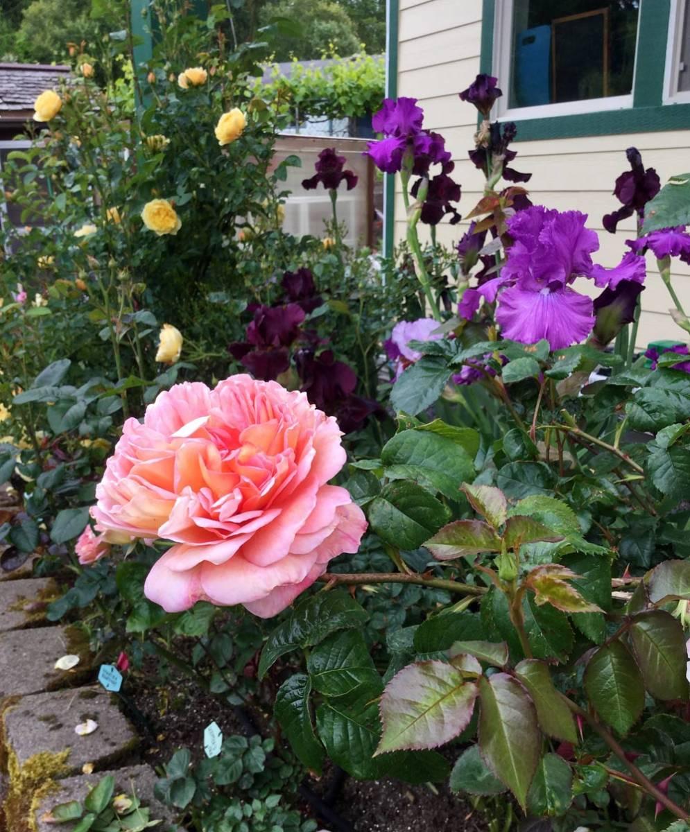 short essay on flower rose