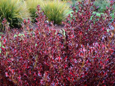 Use standout plants, like this coprosma hedge of Pacific Sunset, to stop people taking shortcuts in the garden.