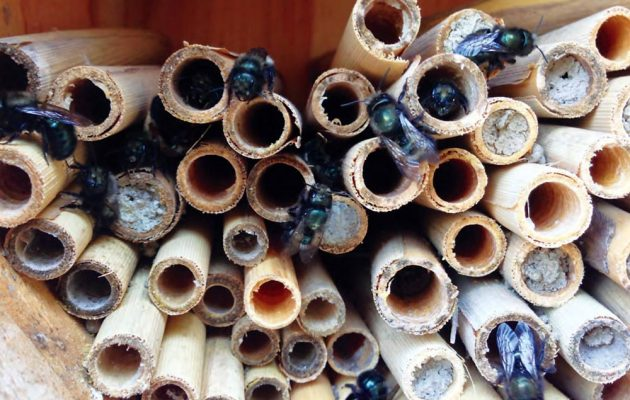 Mason bees are patiently waiting for morning sun to warm them before starting their busy day. (Photo courtesy Dave Hunter/Crown Bees)