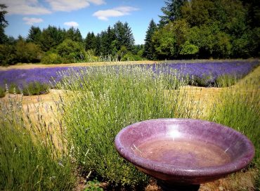 Blue Willow Lavender Farm in summer (Photo courtesy Chris Webber)