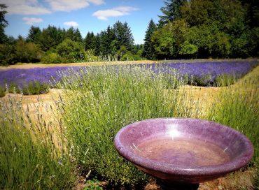 Blue Willow Lavender Farm in summer (Photo courtesy Chris Webber)