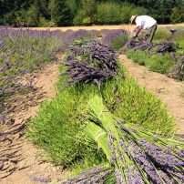 Late summer harvest is backbreaking work! (Photo courtesy Tracy Ketts)