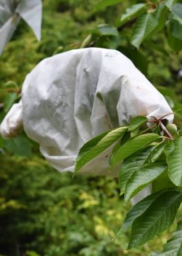 Clusters of ripening cherries protected by row-cover fabric