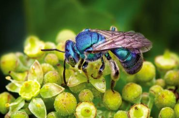 An iridescent blue orchard mason bee (Photo by Brian Buckner Photography)