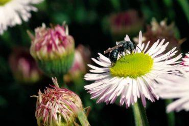 Male mason bee (Photo by Kurt Schaefer)